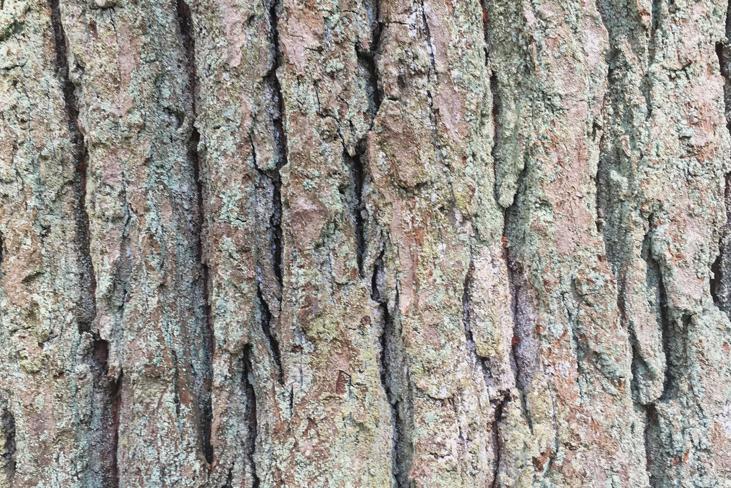 Tree bark of pine — preview